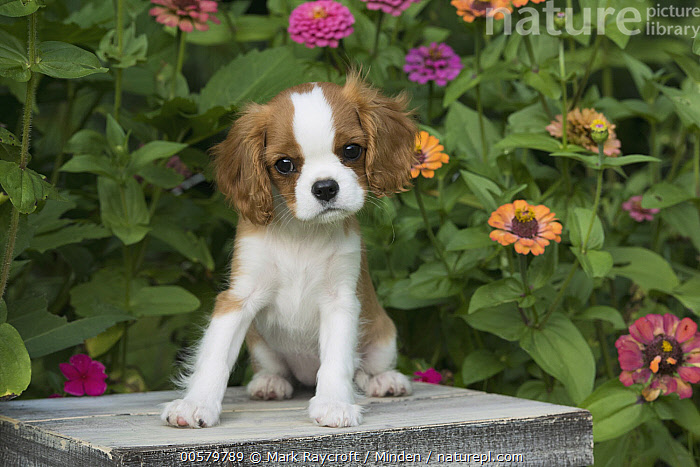 Cavalier King Charles Spaniel (Canis familiaris) puppy, North America  ,  Baby, Canis familiaris, Cavalier King Charles Spaniel, Color Image, Cute, Day, Domestic Dog, Front View, Full Length, Horizontal, Looking at Camera, Nobody, North America, One Animal, Outdoors, Photography, Puppy,Cavalier King Charles Spaniel,North America  ,  Mark Raycroft