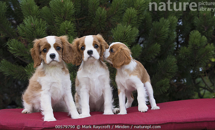 Cavalier King Charles Spaniel (Canis familiaris) puppies, North America, Baby, Canis familiaris, Cavalier King Charles Spaniel, Color Image, Cute, Day, Domestic Dog, Front View, Full Length, Horizontal, Looking at Camera, Nobody, North America, Outdoors, Photography, Puppy, Smelling, Three Animals,Cavalier King Charles Spaniel,North America, Mark Raycroft