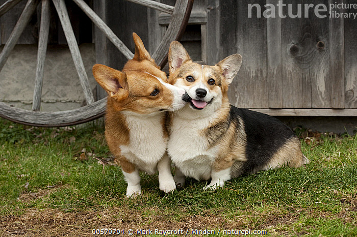 Pembroke Welsh Corgi (Canis familiaris) male and female nuzzling, North America  ,  Adult, Bonding, Canis familiaris, Color Image, Day, Domestic Dog, Female, Front View, Full Length, Horizontal, Kissing, Looking at Camera, Male, Nobody, North America, Nuzzling, Outdoors, Pembroke Welsh Corgi, Photography, Side View, Touching, Two Animals,Pembroke Welsh Corgi,North America  ,  Mark Raycroft