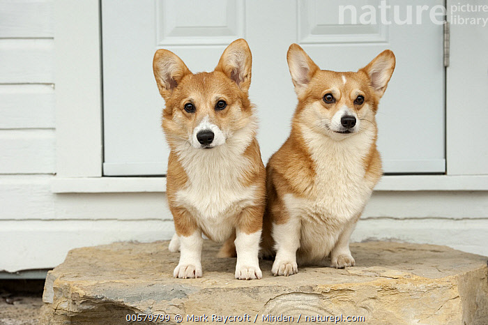 Pembroke Welsh Corgi (Canis familiaris) male and female, North America  ,  Adult, Canis familiaris, Color Image, Day, Domestic Dog, Female, Front View, Full Length, Horizontal, Looking at Camera, Male, Nobody, North America, Outdoors, Pembroke Welsh Corgi, Photography, Two Animals,Pembroke Welsh Corgi,North America  ,  Mark Raycroft