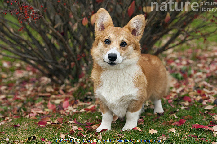 Pembroke Welsh Corgi (Canis familiaris) puppy, North America, Baby, Canis familiaris, Color Image, Day, Domestic Dog, Front View, Full Length, Horizontal, Looking at Camera, Nobody, North America, One Animal, Outdoors, Pembroke Welsh Corgi, Photography, Puppy,Pembroke Welsh Corgi,North America, Mark Raycroft