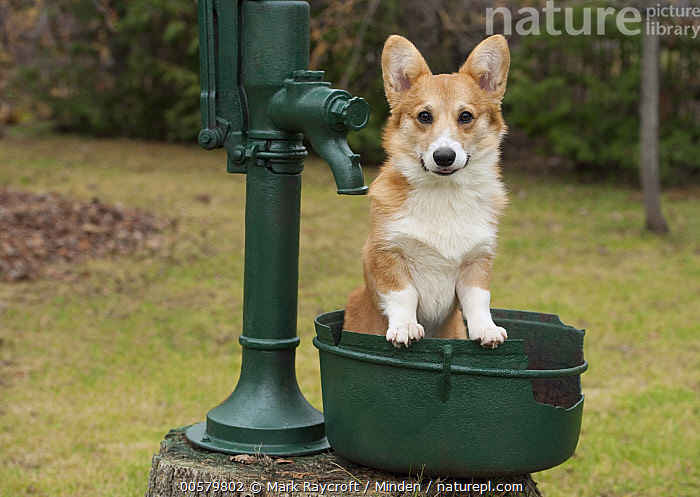 Pembroke Welsh Corgi (Canis familiaris) puppy, North America  ,  Baby, Canis familiaris, Color Image, Day, Domestic Dog, Front View, Full Length, Horizontal, Looking at Camera, Nobody, North America, One Animal, Outdoors, Pembroke Welsh Corgi, Photography, Puppy,Pembroke Welsh Corgi,North America  ,  Mark Raycroft