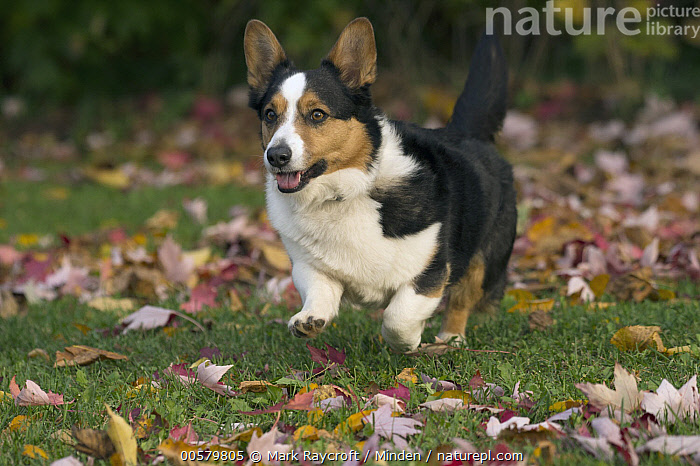 Cardigan Welsh Corgi (Canis familiaris) running, North America  ,  Adult, Canis familiaris, Cardigan Welsh Corgi, Color Image, Day, Domestic Dog, Full Length, Horizontal, Nobody, North America, One Animal, Outdoors, Photography, Running, Side View, Tri Color,Cardigan Welsh Corgi,North America  ,  Mark Raycroft