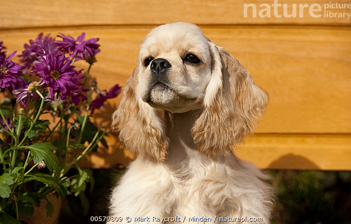 Cocker Spaniel (Canis familiaris) puppy, North America  ,  Adult, Baby, Canis familiaris, Cocker Spaniel, Color Image, Day, Domestic Dog, Front View, Head and Shoulders, Horizontal, Nobody, North America, One Animal, Outdoors, Photography, Portrait, Puppy,Cocker Spaniel,North America  ,  Mark Raycroft