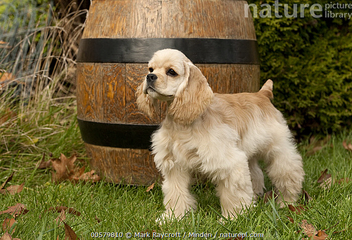 Cocker Spaniel (Canis familiaris) puppy, North America  ,  Baby, Canis familiaris, Cocker Spaniel, Color Image, Day, Domestic Dog, Full Length, Horizontal, Nobody, North America, One Animal, Outdoors, Photography, Puppy, Side View,Cocker Spaniel,North America  ,  Mark Raycroft