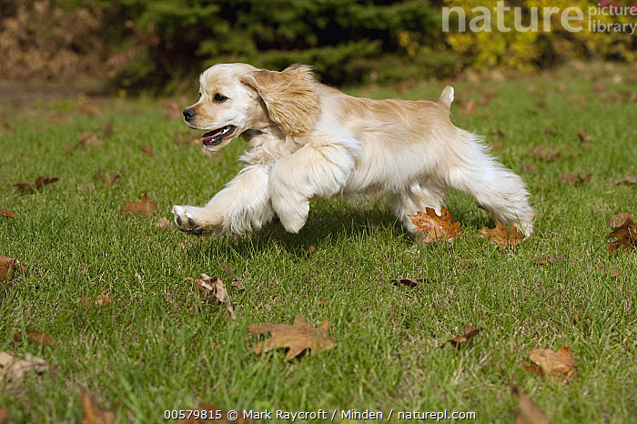 Cocker Spaniel (Canis familiaris) puppy running, North America  ,  Baby, Canis familiaris, Cocker Spaniel, Color Image, Day, Domestic Dog, Full Length, Horizontal, Nobody, North America, One Animal, Outdoors, Photography, Puppy, Running, Side View,Cocker Spaniel,North America  ,  Mark Raycroft