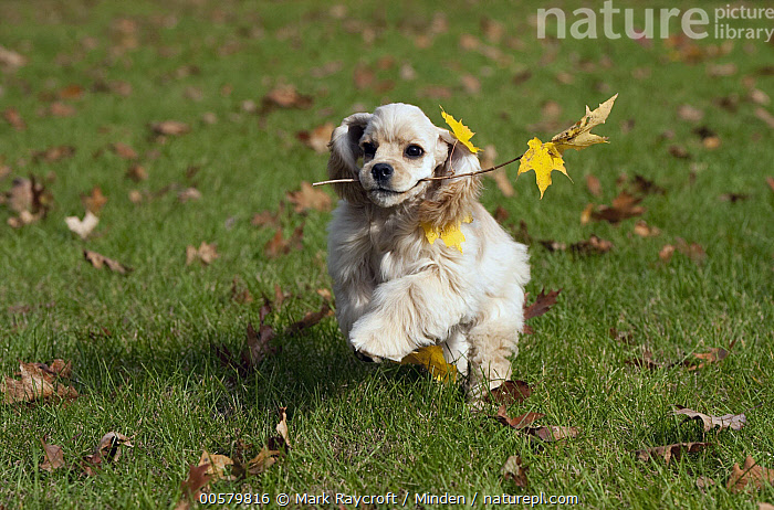 Cocker Spaniel (Canis familiaris) puppy playing with stick, North America  ,  Baby, Canis familiaris, Carrying, Cocker Spaniel, Color Image, Day, Domestic Dog, Fetching, Front View, Full Length, Horizontal, Nobody, North America, One Animal, Outdoors, Photography, Playing, Puppy, Running, Stick,Cocker Spaniel,North America  ,  Mark Raycroft