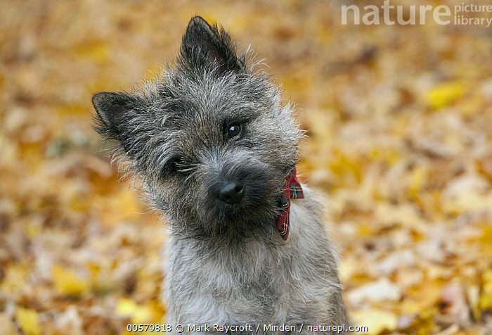 Cairn Terrier (Canis familiaris) puppy, North America  ,  Baby, Cairn Terrier, Canis familiaris, Close Up, Color Image, Curiosity, Day, Domestic Dog, Emoting, Front View, Head and Shoulders, Horizontal, Looking at Camera, Nobody, North America, One Animal, Outdoors, Photography, Portrait, Puppy,Cairn Terrier,North America  ,  Mark Raycroft