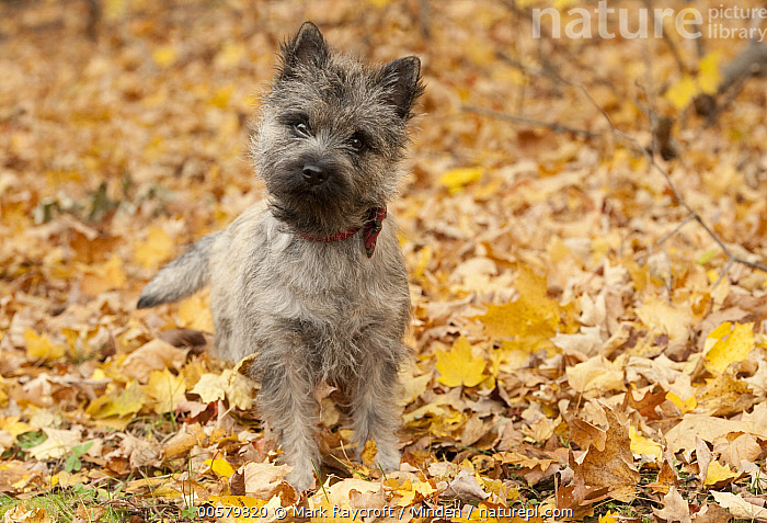 Cairn Terrier (Canis familiaris) puppy, North America, Baby, Cairn Terrier, Canis familiaris, Color Image, Day, Domestic Dog, Front View, Full Length, Horizontal, Looking at Camera, Nobody, North America, One Animal, Outdoors, Photography, Puppy,Cairn Terrier,North America, Mark Raycroft