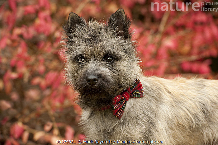 Cairn Terrier (Canis familiaris) puppy, North America  ,  Baby, Cairn Terrier, Canis familiaris, Color Image, Day, Domestic Dog, Horizontal, Nobody, North America, One Animal, Outdoors, Photography, Puppy, Side View, Waist Up,Cairn Terrier,North America  ,  Mark Raycroft