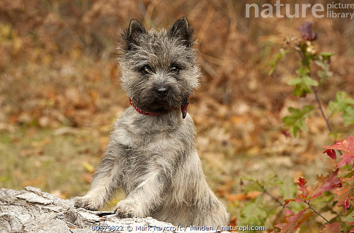 Cairn Terrier (Canis familiaris) puppy, North America, Baby, Cairn Terrier, Canis familiaris, Color Image, Day, Domestic Dog, Horizontal, Looking at Camera, Nobody, North America, One Animal, Outdoors, Photography, Puppy, Side View, Waist Up,Cairn Terrier,North America, Mark Raycroft