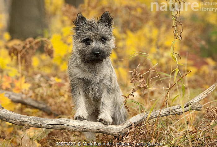 Cairn Terrier (Canis familiaris) puppy, North America  ,  Baby, Cairn Terrier, Canis familiaris, Color Image, Day, Domestic Dog, Front View, Full Length, Horizontal, Looking at Camera, Nobody, North America, One Animal, Outdoors, Photography, Puppy,Cairn Terrier,North America  ,  Mark Raycroft