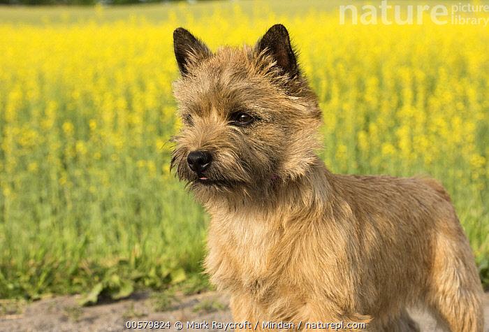 Cairn Terrier (Canis familiaris), North America, Adult, Cairn Terrier, Canis familiaris, Color Image, Day, Domestic Dog, Horizontal, Nobody, North America, One Animal, Outdoors, Photography, Side View, Three Quarter Length,Cairn Terrier,North America, Mark Raycroft