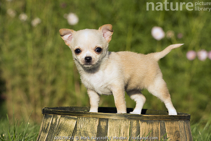 Chihuahua (Canis familiaris) puppy, North America  ,  Baby, Canis familiaris, Chihuahua, Color Image, Cute, Day, Domestic Dog, Full Length, Horizontal, Looking at Camera, Nobody, North America, One Animal, Outdoors, Photography, Puppy, Side View, Tiny,Chihuahua,North America  ,  Mark Raycroft