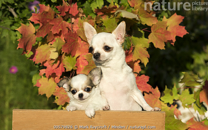 Chihuahua (Canis familiaris) parent with puppy, North America  ,  Adult, Baby, Canis familiaris, Chihuahua, Color Image, Cute, Day, Domestic Dog, Front View, Horizontal, Nobody, North America, Outdoors, Parent, Photography, Puppy, Tiny, Two Animals, Waist Up,Chihuahua,North America  ,  Mark Raycroft