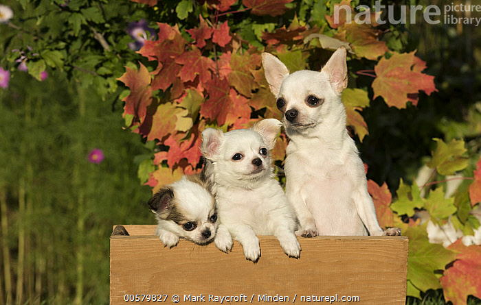 Chihuahua (Canis familiaris) parent with puppies, North America  ,  Adult, Baby, Canis familiaris, Chihuahua, Color Image, Cute, Day, Domestic Dog, Front View, Head and Shoulders, Horizontal, Nobody, North America, Outdoors, Parent, Photography, Portrait, Puppy, Three Animals, Waist Up,Chihuahua,North America  ,  Mark Raycroft