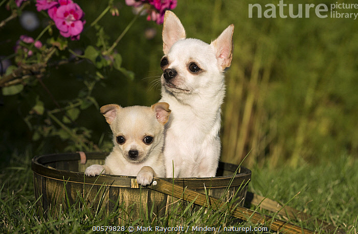 Chihuahua (Canis familiaris) parent with puppy, North America  ,  Adult, Baby, Canis familiaris, Chihuahua, Color Image, Cute, Day, Domestic Dog, Front View, Head and Shoulders, Horizontal, Nobody, North America, Outdoors, Parent, Photography, Portrait, Puppy, Tiny, Two Animals, Waist Up,Chihuahua,North America  ,  Mark Raycroft