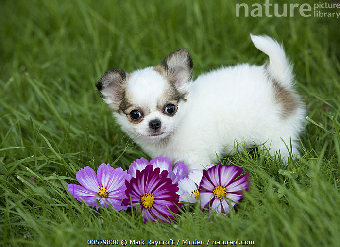 Chihuahua (Canis familiaris) puppy, North America  ,  Baby, Canis familiaris, Chihuahua, Color Image, Cute, Day, Domestic Dog, Full Length, Horizontal, Looking at Camera, Nobody, North America, One Animal, Outdoors, Photography, Puppy, Side View,Chihuahua,North America  ,  Mark Raycroft