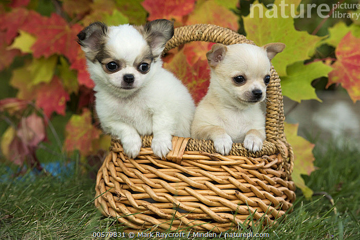 Chihuahua (Canis familiaris) puppies, North America  ,  Baby, Canis familiaris, Chihuahua, Color Image, Cute, Day, Domestic Dog, Front View, Horizontal, Nobody, North America, Outdoors, Photography, Puppy, Two Animals, Waist Up,Chihuahua,North America  ,  Mark Raycroft