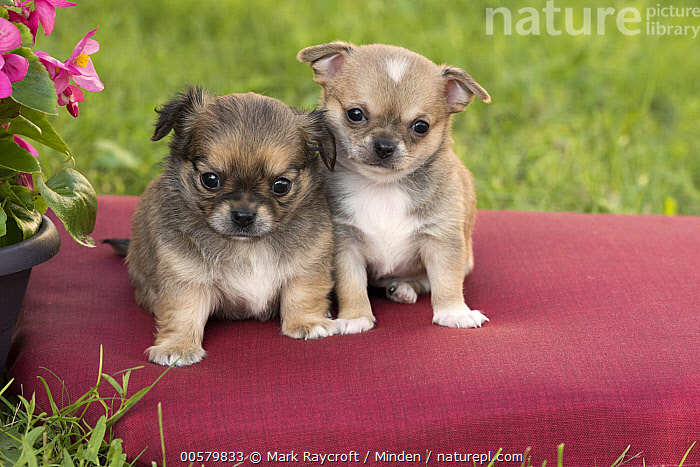 Chihuahua (Canis familiaris) puppies, North America, Baby, Canis familiaris, Chihuahua, Color Image, Cute, Day, Domestic Dog, Front View, Full Length, Horizontal, Looking at Camera, Nobody, North America, Outdoors, Photography, Puppy, Two Animals,Chihuahua,North America, Mark Raycroft