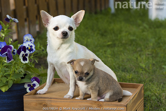 Chihuahua (Canis familiaris) parent with puppy, North America  ,  Adult, Baby, Canis familiaris, Chihuahua, Color Image, Day, Domestic Dog, Full Length, Horizontal, Nobody, North America, Outdoors, Parent, Photography, Puppy, Side View, Two Animals,Chihuahua,North America  ,  Mark Raycroft