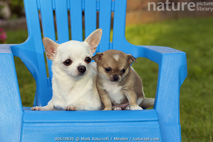Chihuahua (Canis familiaris) parent with puppy, North America  ,  Adult, Baby, Canis familiaris, Chihuahua, Color Image, Day, Domestic Dog, Front View, Full Length, Horizontal, Nobody, North America, Outdoors, Parent, Photography, Puppy, Two Animals,Chihuahua,North America  ,  Mark Raycroft