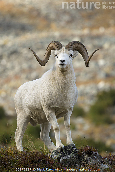 Dall's Sheep (Ovis dalli) ram, Alaska, Adult, Alaska, Color Image, Dall's Sheep, Day, Full Length, Looking at Camera, Male, Nobody, One Animal, Outdoors, Ovis dalli, Photography, Ram, Side View, Vertical, Wildlife,Dall's Sheep,Alaska, USA, Mark Raycroft