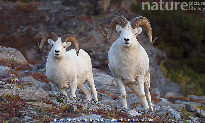 Dall's Sheep (Ovis dalli) rams, Alaska  ,  Adult, Alaska, Color Image, Dall's Sheep, Day, Front View, Full Length, Horizontal, Looking at Camera, Male, Nobody, Outdoors, Ovis dalli, Photography, Ram, Two Animals, Wildlife,Dall's Sheep,Alaska, USA  ,  Mark Raycroft