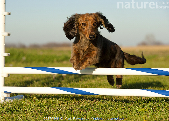 Miniature Long Haired Dachshund (Canis familiaris) jumping, North America, Adult, Canis familiaris, Color Image, Day, Domestic Dog, Full Length, Horizontal, Jumping, Miniature Long Haired Dachshund, Nobody, North America, One Animal, Outdoors, Photography, Side View,Miniature Long Haired Dachshund,North America, Mark Raycroft