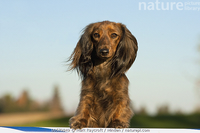 Miniature Long Haired Dachshund (Canis familiaris), North America, Adult, Canis familiaris, Color Image, Day, Domestic Dog, Front View, Horizontal, Looking at Camera, Miniature Long Haired Dachshund, Nobody, North America, One Animal, Outdoors, Photography, Waist Up,Miniature Long Haired Dachshund,North America, Mark Raycroft