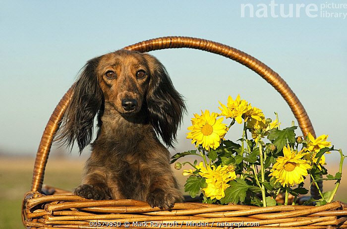 Miniature Long Haired Dachshund (Canis familiaris), North America  ,  Adult, Canis familiaris, Color Image, Day, Domestic Dog, Front View, Horizontal, Looking at Camera, Miniature Long Haired Dachshund, Nobody, North America, One Animal, Outdoors, Photography, Waist Up,Miniature Long Haired Dachshund,North America  ,  Mark Raycroft