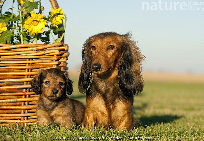 Miniature Long Haired Dachshund (Canis familiaris) parent with puppy, North America, Adult, Baby, Canis familiaris, Color Image, Day, Domestic Dog, Front View, Full Length, Horizontal, Looking at Camera, Miniature Long Haired Dachshund, Nobody, North America, Outdoors, Parent, Photography, Puppy, Two Animals,Miniature Long Haired Dachshund,North America, Mark Raycroft