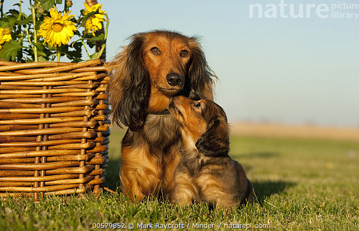 Miniature Long Haired Dachshund (Canis familiaris) parent with puppy, North America, Adult, Baby, Bonding, Canis familiaris, Color Image, Cute, Day, Domestic Dog, Front View, Full Length, Horizontal, Looking at Camera, Miniature Long Haired Dachshund, Nobody, North America, Nuzzling, Outdoors, Parent, Photography, Puppy, Touching, Two Animals,Miniature Long Haired Dachshund,North America, Mark Raycroft
