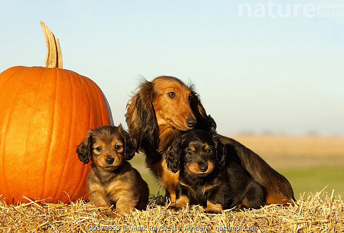 Miniature Long Haired Dachshund (Canis familiaris) parent with puppies, North America  ,  Adult, Baby, Canis familiaris, Color Image, Day, Domestic Dog, Front View, Full Length, Horizontal, Looking at Camera, Miniature Long Haired Dachshund, Nobody, North America, Outdoors, Parent, Photography, Puppy, Side View, Three Animals,Miniature Long Haired Dachshund,North America  ,  Mark Raycroft
