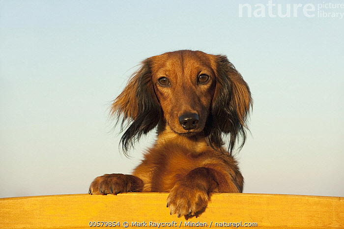 Miniature Long Haired Dachshund (Canis familiaris), North America  ,  Adult, Canis familiaris, Color Image, Day, Domestic Dog, Front View, Head and Shoulders, Horizontal, Looking at Camera, Miniature Long Haired Dachshund, Nobody, North America, One Animal, Outdoors, Photography, Portrait,Miniature Long Haired Dachshund,North America  ,  Mark Raycroft