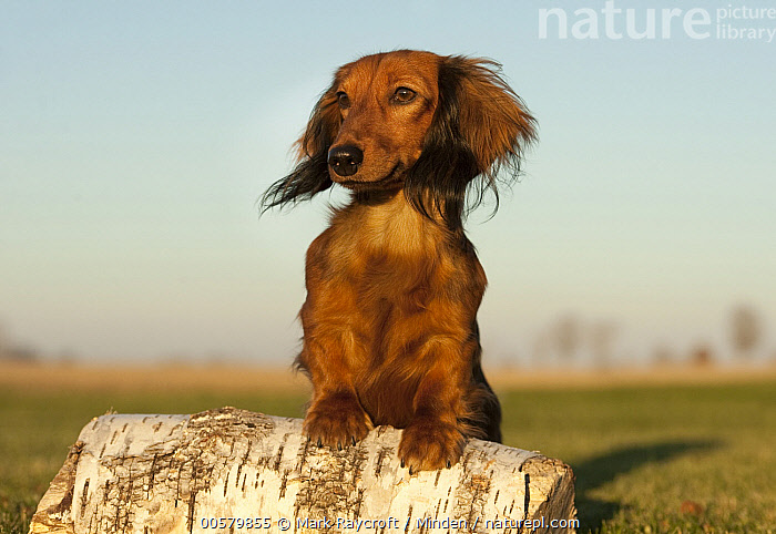 Miniature Long Haired Dachshund (Canis familiaris), North America  ,  Adult, Canis familiaris, Color Image, Day, Domestic Dog, Front View, Full Length, Horizontal, Miniature Long Haired Dachshund, Nobody, North America, One Animal, Outdoors, Photography,Miniature Long Haired Dachshund,North America  ,  Mark Raycroft