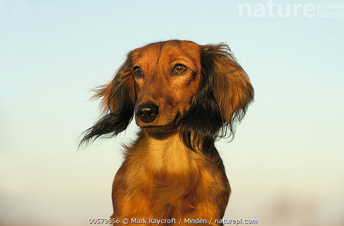 Miniature Long Haired Dachshund (Canis familiaris), North America, Adult, Canis familiaris, Close Up, Color Image, Day, Domestic Dog, Front View, Head and Shoulders, Horizontal, Miniature Long Haired Dachshund, Nobody, North America, One Animal, Outdoors, Photography, Portrait,Miniature Long Haired Dachshund,North America, Mark Raycroft