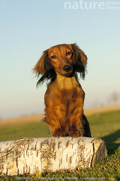 Miniature Long Haired Dachshund (Canis familiaris), North America  ,  Adult, Canis familiaris, Color Image, Day, Domestic Dog, Front View, Full Length, Looking at Camera, Miniature Long Haired Dachshund, Nobody, North America, One Animal, Outdoors, Photography, Vertical,Miniature Long Haired Dachshund,North America  ,  Mark Raycroft