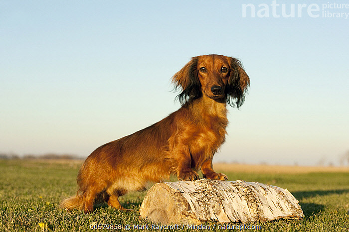 Miniature Long Haired Dachshund (Canis familiaris), North America  ,  Adult, Canis familiaris, Color Image, Day, Domestic Dog, Full Length, Horizontal, Looking at Camera, Miniature Long Haired Dachshund, Nobody, North America, One Animal, Outdoors, Photography, Side View,Miniature Long Haired Dachshund,North America  ,  Mark Raycroft