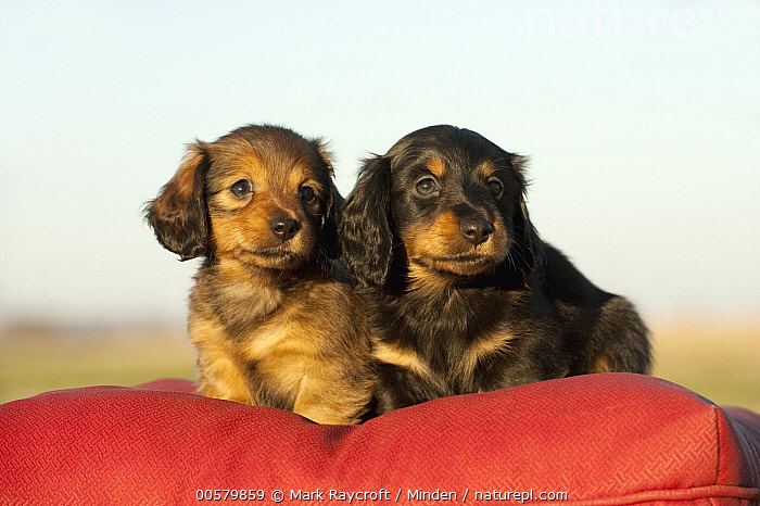 Miniature Long Haired Dachshund (Canis familiaris) puppies, North America  ,  Baby, Canis familiaris, Color Image, Cute, Day, Domestic Dog, Front View, Full Length, Horizontal, Miniature Long Haired Dachshund, Nobody, North America, Outdoors, Photography, Puppy, Two Animals,Miniature Long Haired Dachshund,North America  ,  Mark Raycroft