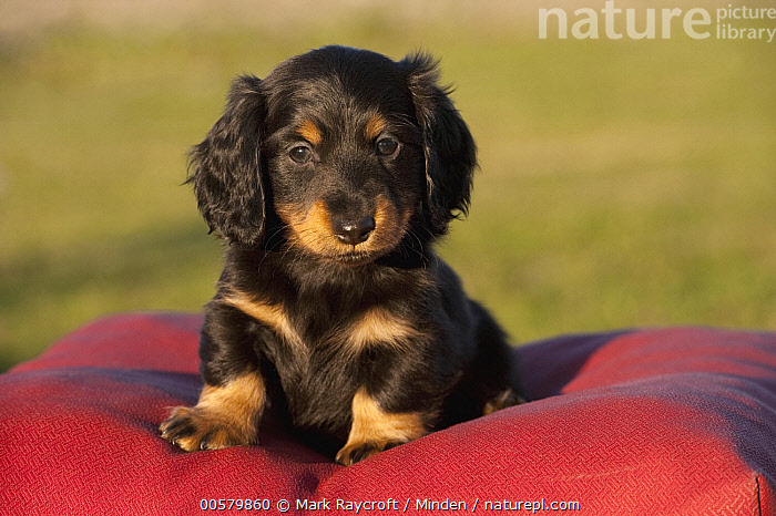 Miniature Long Haired Dachshund (Canis familiaris) puppy, North America  ,  Baby, Canis familiaris, Color Image, Cute, Day, Domestic Dog, Front View, Full Length, Horizontal, Looking at Camera, Miniature Long Haired Dachshund, Nobody, North America, One Animal, Outdoors, Photography, Puppy,Miniature Long Haired Dachshund,North America  ,  Mark Raycroft