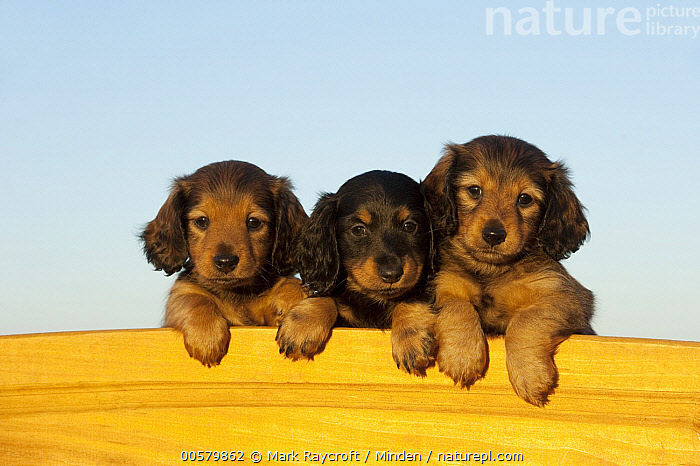 Miniature Long Haired Dachshund (Canis familiaris) puppies, North America, Baby, Canis familiaris, Color Image, Cute, Day, Domestic Dog, Front View, Head and Shoulders, Horizontal, Looking at Camera, Miniature Long Haired Dachshund, Nobody, North America, Outdoors, Photography, Portrait, Puppy, Three Animals,Miniature Long Haired Dachshund,North America, Mark Raycroft
