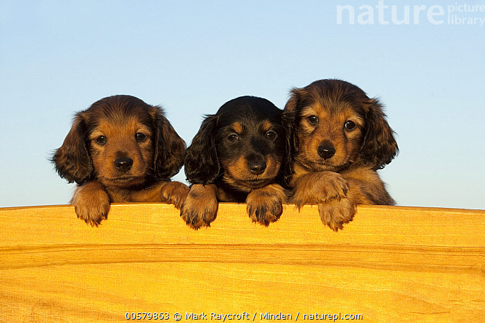 Miniature Long Haired Dachshund (Canis familiaris) puppies, North America  ,  Baby, Canis familiaris, Color Image, Cute, Day, Domestic Dog, Front View, Head and Shoulders, Horizontal, Looking at Camera, Miniature Long Haired Dachshund, Nobody, North America, Outdoors, Photography, Portrait, Puppy, Three Animals,Miniature Long Haired Dachshund,North America  ,  Mark Raycroft