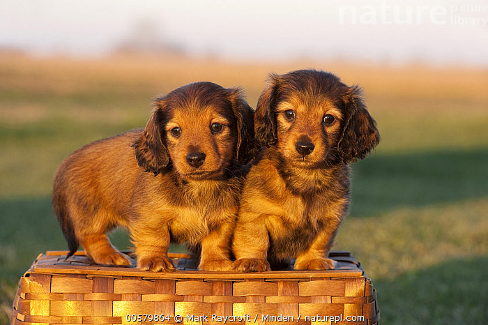 Miniature Long Haired Dachshund (Canis familiaris) puppies, North America  ,  Baby, Canis familiaris, Color Image, Cute, Day, Domestic Dog, Front View, Full Length, Horizontal, Looking at Camera, Miniature Long Haired Dachshund, Nobody, North America, Outdoors, Photography, Puppy, Two Animals,Miniature Long Haired Dachshund,North America  ,  Mark Raycroft