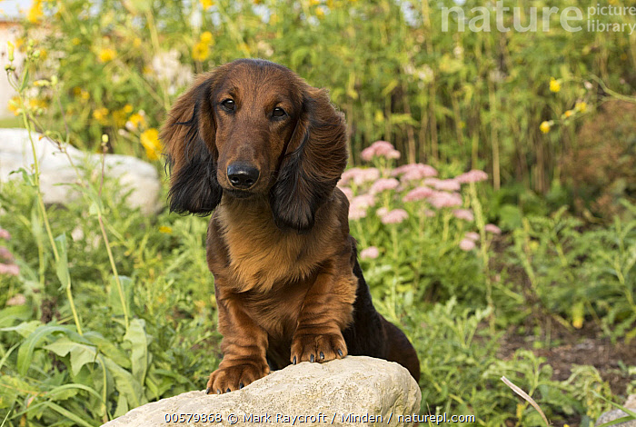 Standard Long-haired Dachshund (Canis familiaris), North America  ,  Adult, Canis familiaris, Color Image, Day, Domestic Dog, Front View, Horizontal, Looking at Camera, Nobody, North America, One Animal, Outdoors, Photography, Standard Long-haired Dachshund, Waist Up,Standard Long-haired Dachshund,North America  ,  Mark Raycroft