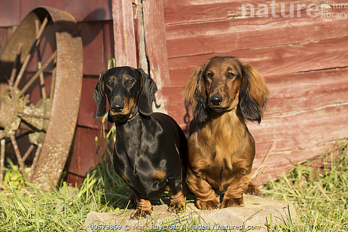Standard Smooth Dachshund (Canis familiaris) and Standard Long-haired Dachshund (Canis familiaris), North America, Adult, Canis familiaris, Color Image, Day, Difference, Domestic Dog, Front View, Full Length, Horizontal, Mixed, Nobody, North America, Outdoors, Photography, Standard Long-haired Dachshund, Standard Smooth Dachshund, Two Animals,Standard Smooth Dachshund,Standard Long-haired Dachshund,Canis familiaris,North America, Mark Raycroft