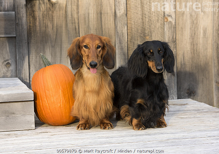 Standard Long-haired Dachshund (Canis familiaris) pair, North America  ,  Adult, Canis familiaris, Color Image, Day, Difference, Domestic Dog, Front View, Full Length, Horizontal, Looking at Camera, Nobody, North America, Outdoors, Photography, Standard Long-haired Dachshund, Two Animals,Standard Long-haired Dachshund,North America  ,  Mark Raycroft