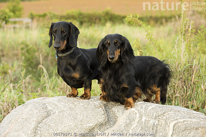 Standard Smooth Dachshund (Canis familiaris) and Standard Long-haired Dachshund (Canis familiaris), North America, Adult, Canis familiaris, Color Image, Day, Difference, Domestic Dog, Full Length, Horizontal, Mixed, Nobody, North America, Outdoors, Photography, Side View, Standard Long-haired Dachshund, Standard Smooth Dachshund, Two Animals,Standard Smooth Dachshund,Standard Long-haired Dachshund,North America, Mark Raycroft