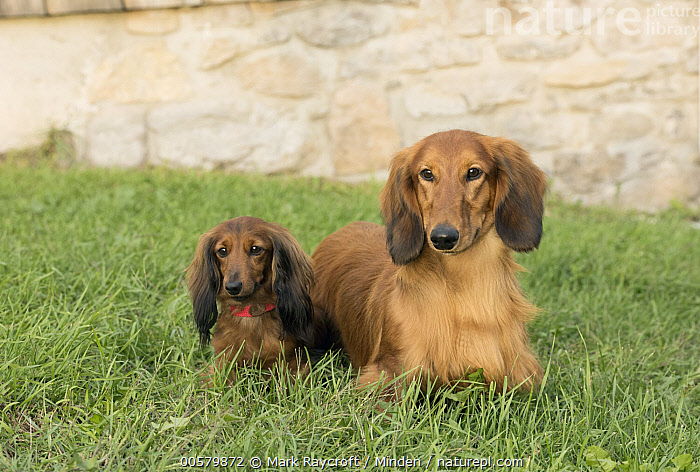 Miniature Long Haired Dachshund (Canis familiaris) and Standard Long-haired Dachshund (Canis familiaris), North America, Adult, Canis familiaris, Color Image, Day, Difference, Domestic Dog, Front View, Full Length, Horizontal, Looking at Camera, Miniature Long Haired Dachshund, Mixed, Nobody, North America, One Animal, Outdoors, Photography, Standard Long-haired Dachshund,Miniature Long Haired Dachshund,Standard Long-haired Dachshund,Canis familiaris,North America, Mark Raycroft