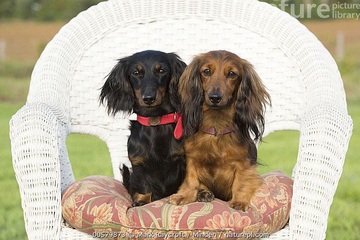 Miniature Long Haired Dachshund (Canis familiaris) pair, North America  ,  Adult, Canis familiaris, Color Image, Day, Domestic Dog, Front View, Full Length, Horizontal, Looking at Camera, Miniature Long Haired Dachshund, Nobody, North America, Outdoors, Photography, Two Animals,Miniature Long Haired Dachshund,North America  ,  Mark Raycroft